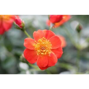 Rose in Bushes