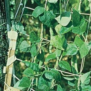 Trellis in Plant Support