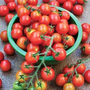 Tomato Plant in Vegetable Plants