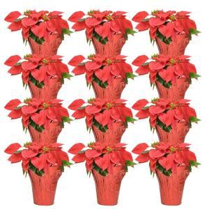 Poinsettia in Christmas Plants