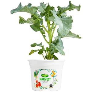 Broccoli in Vegetable Plants