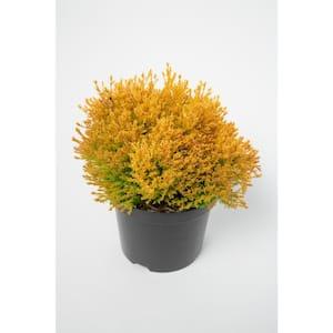 Non-Flowering