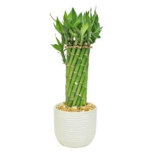 Bamboo in House Plants