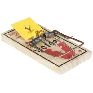 Rats in Animal Traps