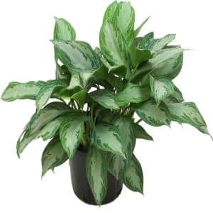 Chinese Evergreen in House Plants