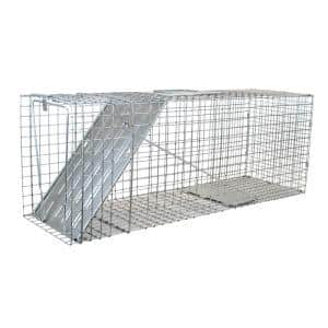 Raccoons in Animal Traps