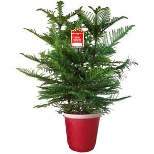 Norfolk Pine