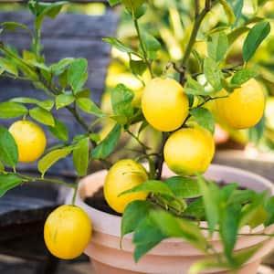 Lemon Tree in Fruit Trees
