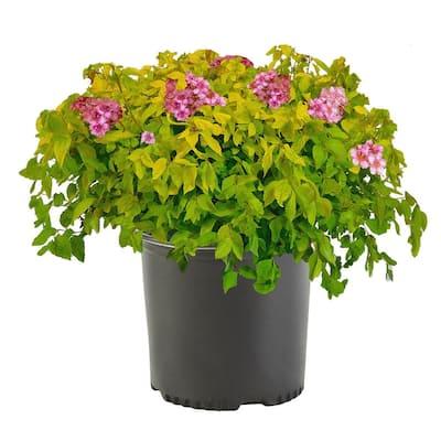 2.25 Gal. Goldmound Spirea Flowering Shrub with Pink Blooms