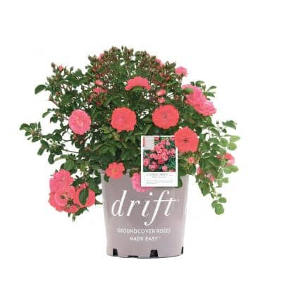 G2 Rose Drift Coral with Coral Flowers
