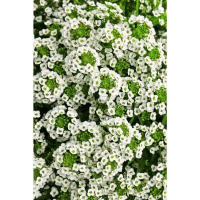 4-pack, 4.25 in. Grande White Knight SweetAlyssum (Lobularia) Live Plant, White Flowers