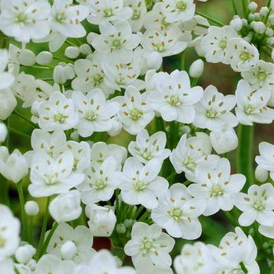 Allium Collection Bulbs (150-Pack)