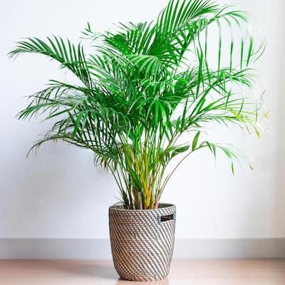 2.5 Qt. Majesty Palm Ravenea Plant in Grower Pot