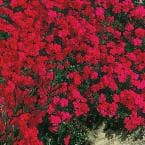 Red Creeping Phlox Live Bareroot Plant Red Flowering Groundcover Perennial (1-Pack)