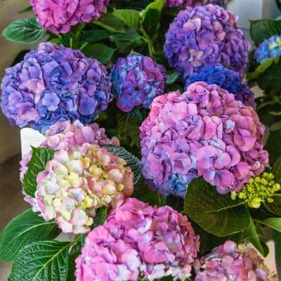 4 in. Pot L.A. Dreaming Hydrangea Blue or Pink Flowers Live Deciduous Plant (1-Pack)