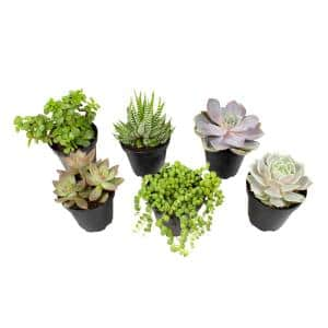 9 cm Assorted Succulent Plant Collection (6-Pack)