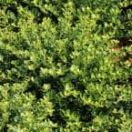 2.5 qt. Holly Compacta Shrub