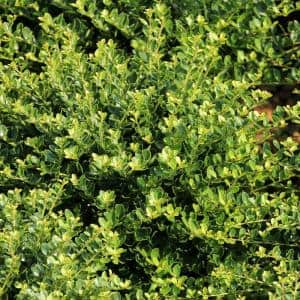 2.25 Gal. Holly Compacta Shrub