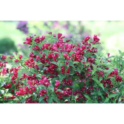 Sonic Bloom Red Reblooming Weigela (Florida) Live Shrub, Red Flowers, 1 Gal.