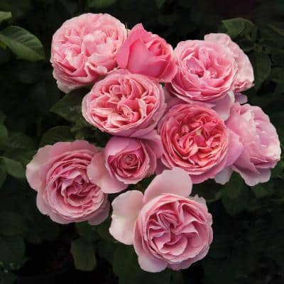 2 in. Pot All Dressed Up Grandiflora Rose, Live Potted Plant with Pink Flowers (1-Pack)