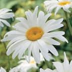 Shasta Daisy (Leucanthemum), Live Bareroot Perennial White Flowers (3-Pack)