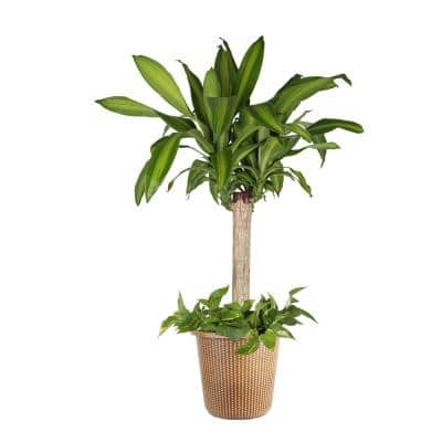 10 in. Mass Cane/Pothos Combo Plant