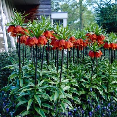 Fritillaria Bulbs Rubra (Set of 3)