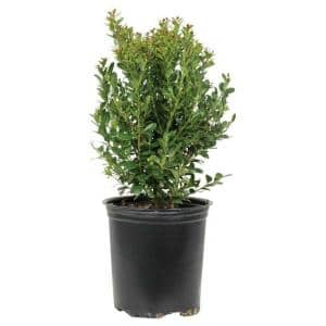 2.5 Qt. Compacta Japanese Holly(Ilex), Live Evergreen Shrub