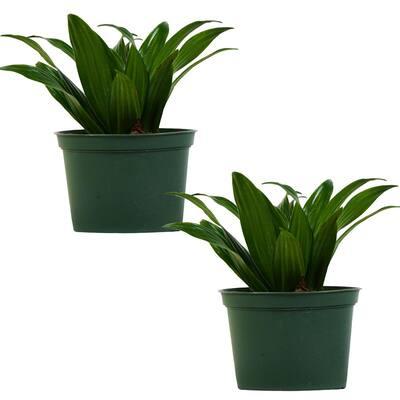 Janet Craig Dracaena (Dracaena Deremensis) Live Plant in 6 in. Growers Pot (2-Pack)