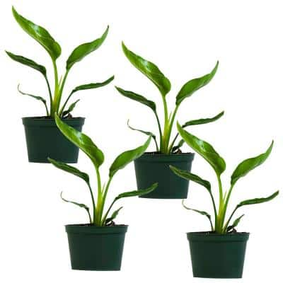 Giant White Bird of Paradise (Strelitzia Nicolai) Live Plant in 6 in. Growers Pot (4-Pack)
