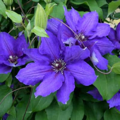 Danielle Vancouver Series Clematis Vine, Live Bareroot Perennial Plant (1-Pack)