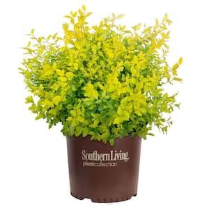 2 Gal. Sunshine Ligustrum Privet Shrub with Golden-Yellow Foliage