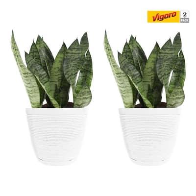 6 in. Grower's Choice Snake Plant (Sansevieria) in White Decor Pot (2-Pack)