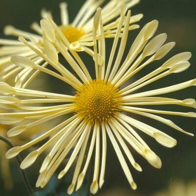 Yellow Quill Mammoth Mum (Chrysanthemum), Live Flowering Bareroot Perennial Plant (1-Pack)