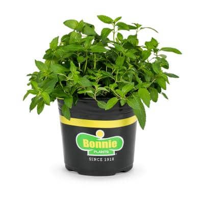 2.32 Qt. Mint-Sweet Mint