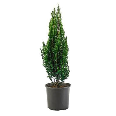 2.25 Gal. Blue Point Juniper Plant with Blue-Green Foliage