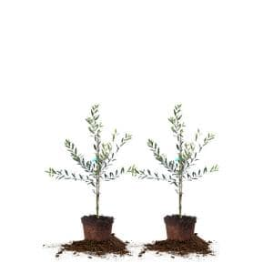 2 ft. - 3 ft. Arbequina Olive (2-Pack)