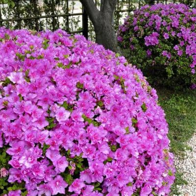 2.5 qt. Azalea Poukhanense Compacta Flowering Shrub with Magenta Blooms