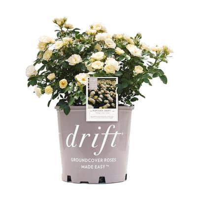 19CM Rose Drift Popcorn (Yellow Flowers)