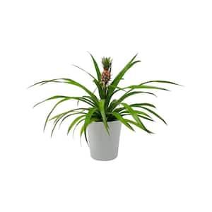 1 Qt. Pineapple Plant Mini Me Sol Yellow in 4.7 in. Designer Pot