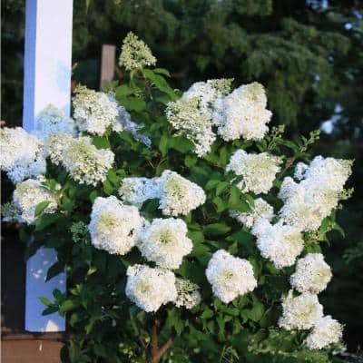 2 Gal. Hydrangea Limelight Shrub- Pink, Red and Burgundy Blooms