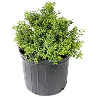 2.5 qt. Holly Soft Touch Shrub