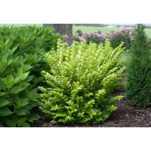 4.5 in. Qt. Golden Ticket Privet (Ligustrum) Live Shrub, White Flowers and Yellow Foliage