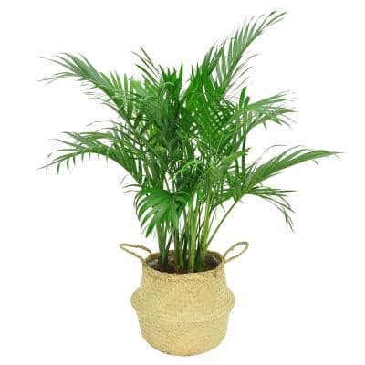 9.25 in. Cateracterum Palm (Cat Palm) Plant in Natural Decor Basket