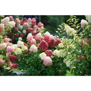 1 Gal. Little Lime Punch Panicle Hydrangea (Paniculata) Live Plant, Shrub, Green, White, and Pink Flowers