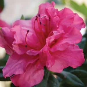 3 Gal. Autumn Rouge Shrub with Ruffled Bright Pink Reblooming Flowers