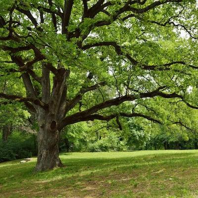 2.25 Gal. Deciduous Live Oak Tree