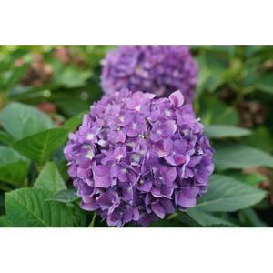 4.5 in. Qt. Let's Dance Arriba Reblooming Hydrangea (Macrophylla) Live Plant, Shrub, Pink or Blue Flowers