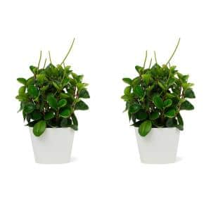 1.5 Qt. Peperomia Obtusifolia Green Plant in 6 in. Designer Pot (2-Pack)