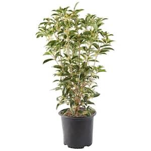 2.25 Gal. Osmanthus Tea Olive Shrub with White Fragrant Flowers